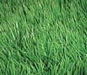 prevent weeds in lawn