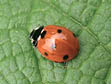 ladybugs for natural pest control
